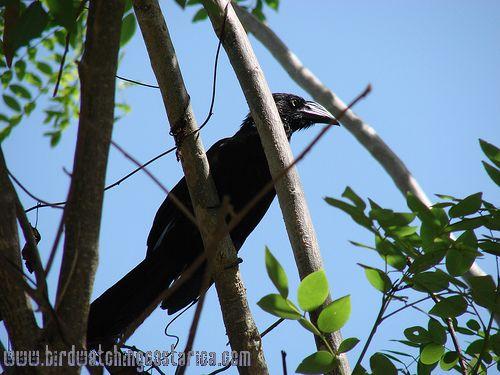 [:en]Bird Greater Ani[:es]Ave Garrapatero Mayor[:]