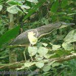 [:en]Bird Fasciated Tiger-Heron[:es]Ave Garza-Tigre de Río[:]