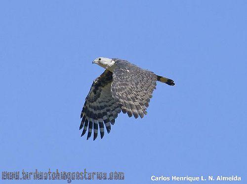 [:en]Bird Gray-headed Kite[:es]Ave Gavilán Cabecigris[:]