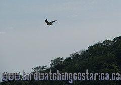 [:en]Bird White-tailed Hawk[:es]Ave Gavilán Coliblanco[:]