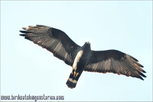 [:en]Bird Zone-tailed Hawk[:es]Ave Gavilán Colifajeado[:]