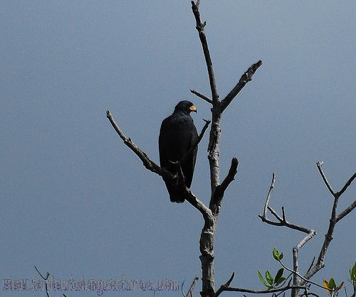 [:en]Bird Mangrove Black-Hawk[:es]Ave Gavilán de Manglar[:]