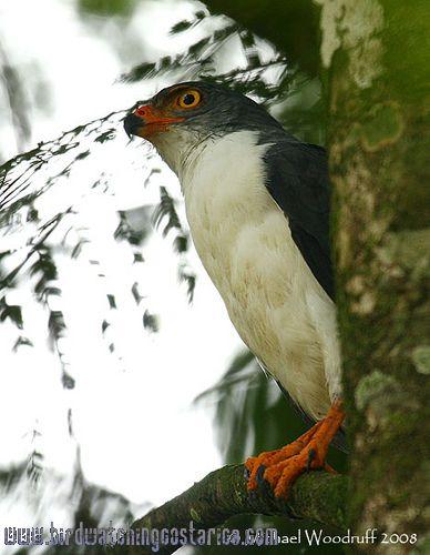 [:en]Bird Semiplumbeous Hawk[:es]Ave Gavilán Dorsiplomizo[:]