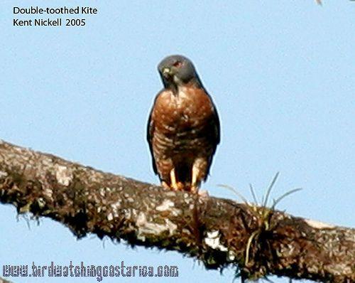 [:en]Bird Double-toothed Kite[:es]Ave Gavilán Gorgirrayado[:]