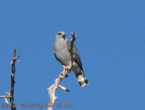 [:en]Bird Gray Hawk[:es]Ave Gavilán Gris[:]