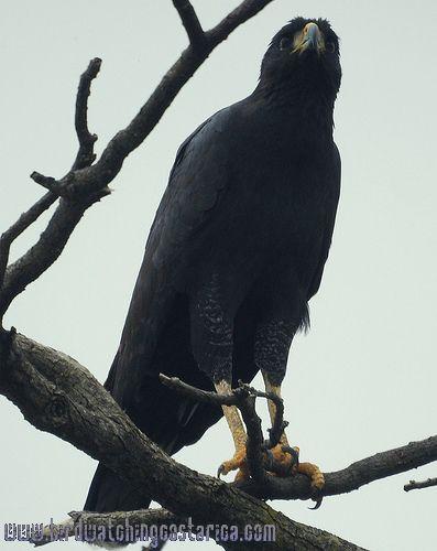 [:en]Bird Great Black-Hawk[:es]Ave Gavilán Negro Mayor[:]