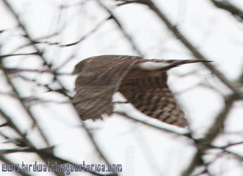 [:en]Bird Sharp-shinned Hawk[:es]Ave Gavilán Pajarero[:]