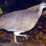 [:en]Bird Great Tinamou[:es]Ave Tinamú Grande[:]