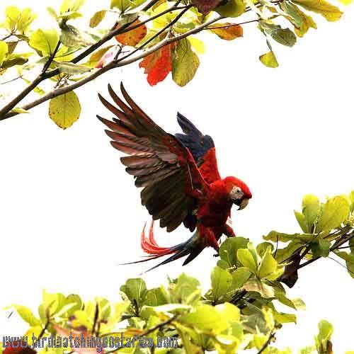 [:en]Bird Scarlet Macaw[:es]Ave Guacamayo Rojo, Lapa Roja[:]