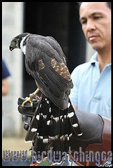 [:en]Bird Collared Forest-Falcon[:es]Ave Halcón de Monte Collarejo[:]