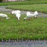 [:en]Bird White Ibis[:es]Ave Ibis Blanco[:]