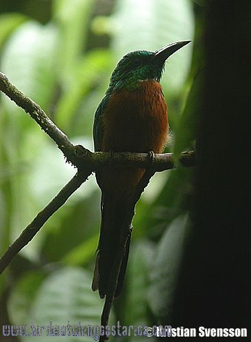 [:en]Bird Great Jacamar[:es]Ave Jacamar Grande[:]