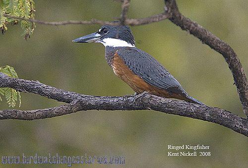 [:en]Bird Ringed Kingfisher[:es]Ave Martín Pescador Collarejo[:]