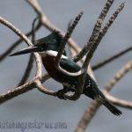 [:en]Bird Green Kingfisher[:es]Ave Martín Pescador Verde[:]