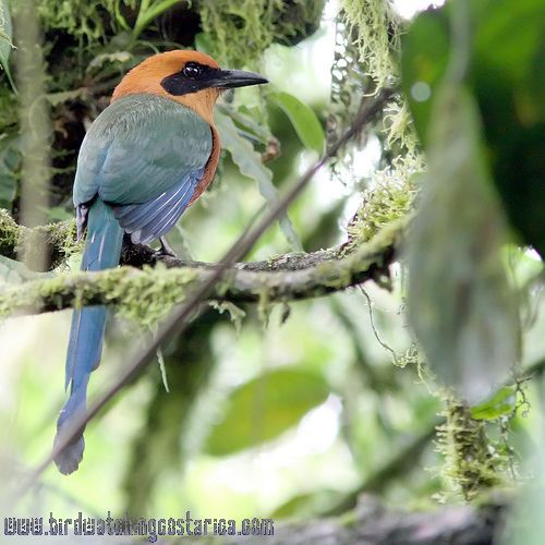 [:en]Bird Rufous Motmot[:es]Ave Momoto Canelo Mayor[:]
