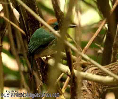 [:en]Bird Tody Motmot[:es]Ave Momoto Enano[:]