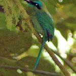 [:en]Bird Keel-billed Motmot[:es]Ave Momoto Pico Quilla[:]