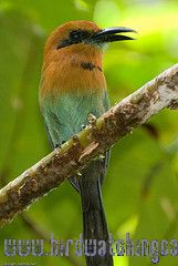 [:en]Bird Broad-billed Motmot[:es]Ave Momoto Piquiancho[:]