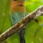 [:en]Bird Broad-billed Motmot[:es]Ave Momoto Piquiancho[:]