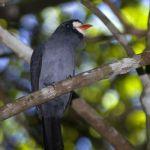 [:en]Bird White-fronted Nunbird[:es]Ave Monja Fretiblanca[:]