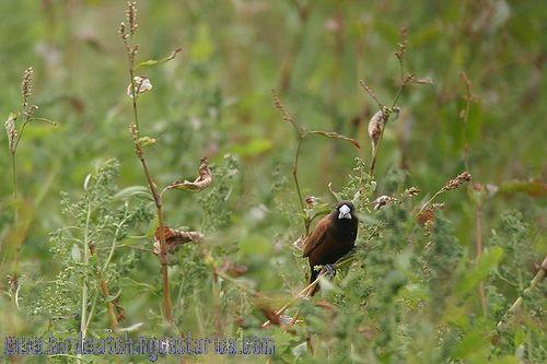 [:en]Bird Tricolored Munia[:es]Ave Monjita Tricolor[:]
