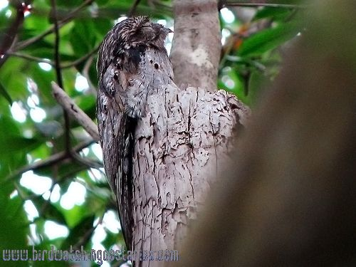 [:en]Bird Common Potoo[:es]Ave Nictibio Común[:]