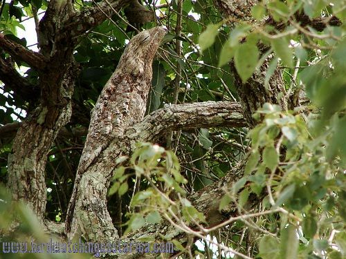 [:en]Bird Great Potoo[:es]Ave Nictibio Grande[:]