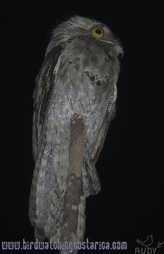 [:en]Bird Northern Potoo[:es]Ave Nictibio Jamaicano[:]