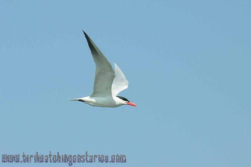 [:en]Bird Caspian Tern[:es]Ave Pagaza Mayor[:]