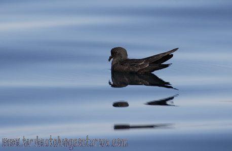 [:en]Bird Least Storm-Petrel[:es]Ave Paiño Menudo[:]