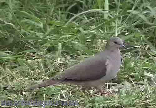 [:en]Bird White-tipped dove[:es]Ave Paloma Coliblanca[:]