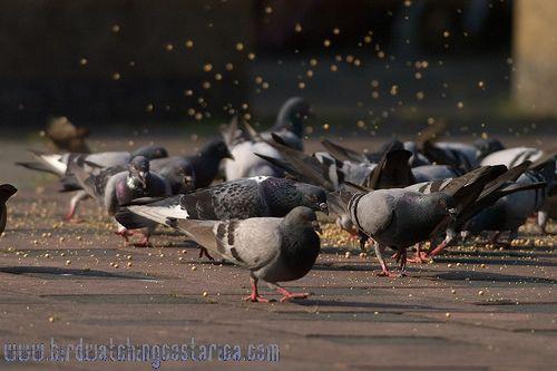 [:en]Bird Rock Pigeon[:es]Ave Paloma Doméstica[:]