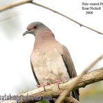 [:en]Bird Scaled Pigeon[:es]Ave Paloma Escamosa[:]