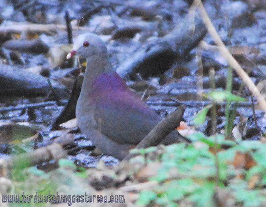 [:en]Bird Gray-headed Dove[:es]Ave Paloma Montaráz Cabecigris[:]