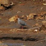 [:en]Bird Gray-chested Dove[:es]Ave Paloma Pechigris[:]