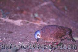[:en]Bird Chiriqui Quail-Dove[:es]Ave Paloma-Perdiz Pechicanela[:]
