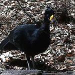[:en]Bird Great Curassow[:es]Ave Pavón Grande (Pava Granadera)[:]