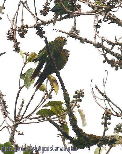 [:en]Bird Sulfur-winged Parakeet[:es]Ave Perico Aliazufrado[:]