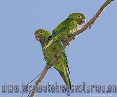 [:en]Bird Olive-throated Parkeet[:es]Ave Perico Azteco[:]