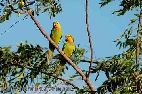 [:en]Bird Brown-throated Parakeet[:es]Ave Perico Gorgicafé[:]