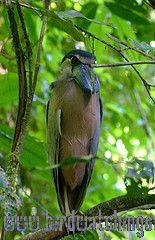 [:en]Bird Boat-billed Heron[:es]Ave Pico-Cuchara, Chocuaco[:]