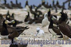 [:en]Bird Brown Booby[:es]Ave Piquero Moreno[:]