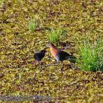 [:en]Bird White-throated Crake[:es]Ave Polluela Gargantiblanca[:]