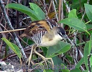 [:en]Bird Yellow-breasted Crake[:es]Ave Polluela Pechiamarilla[:]
