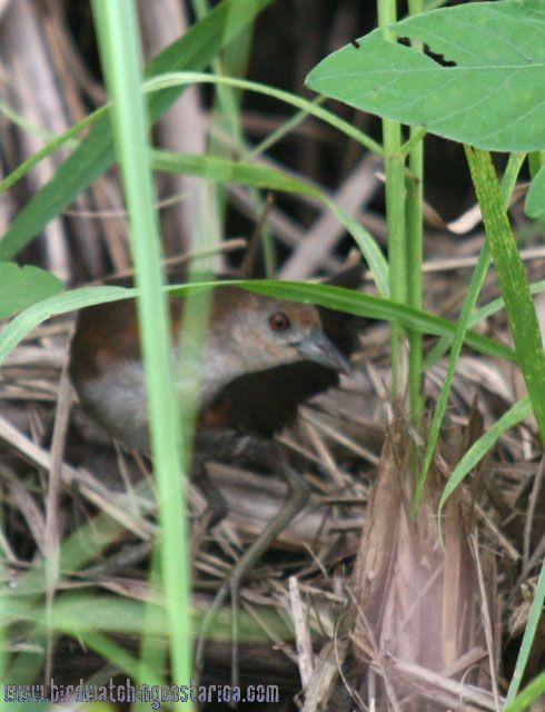 [:en]Bird Gray-breasted Crake[:es]Ave Polluela Pechigris[:]