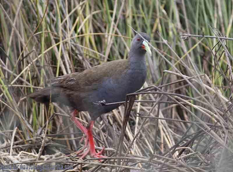 [:en]Bird Paint-billed Crake[:es]Ave Polluela Piquirroja[:]
