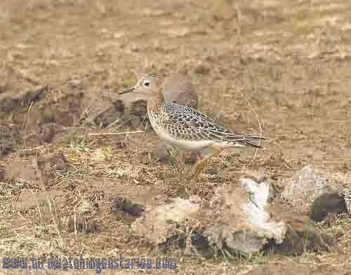 [:en]Bird Buff-breasted Sandpiper[:es]Ave Praderito Pechianteado[:]