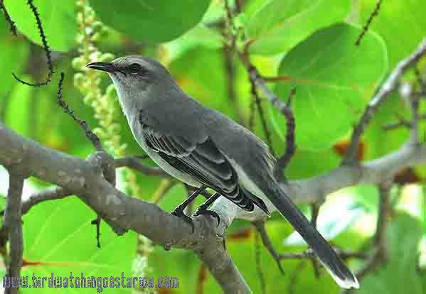 [:en]Bird Tropical Mockingbird[:es]Ave Sinsonte Tropical[:]