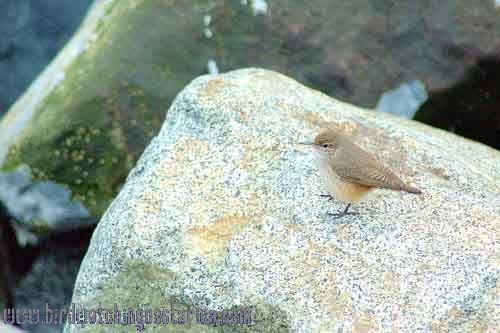 [:en]Bird Rock Wren[:es]Ave Soterrey Roquero[:]
