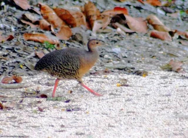 [:en]Bird Thicket Tinamou[:es]Ave Tinamú Canelo[:]